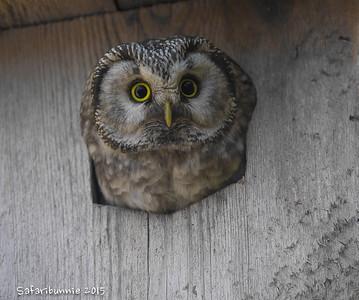 Finland - Owls, Caperciallie & Water Birds (2015)