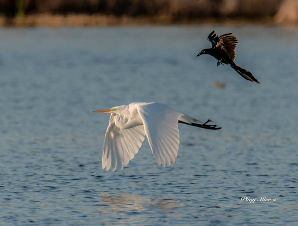 Great Egret Grackle chase_DWL3814.jpg