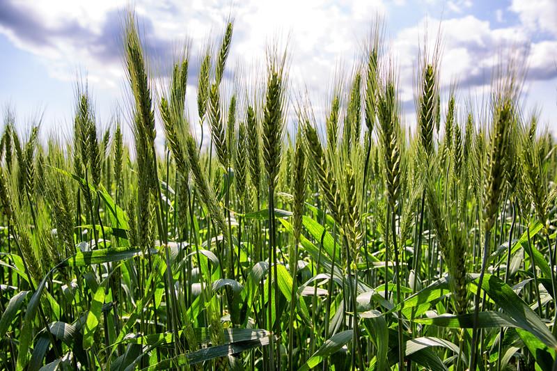 wheatfiledcu-2.jpg