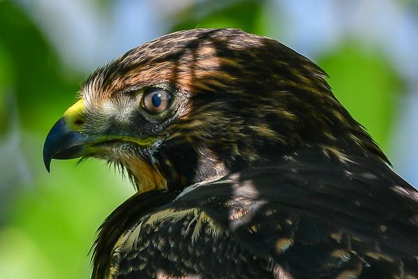 8-18-16 *^Swainson's Hawk (Juvenile)
