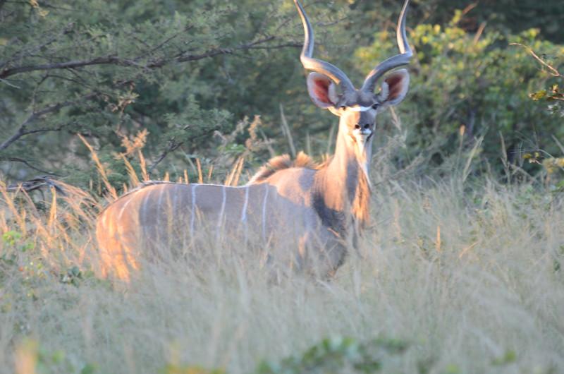 52 - Male Greater Kudu - Chiabe - Anne Davis