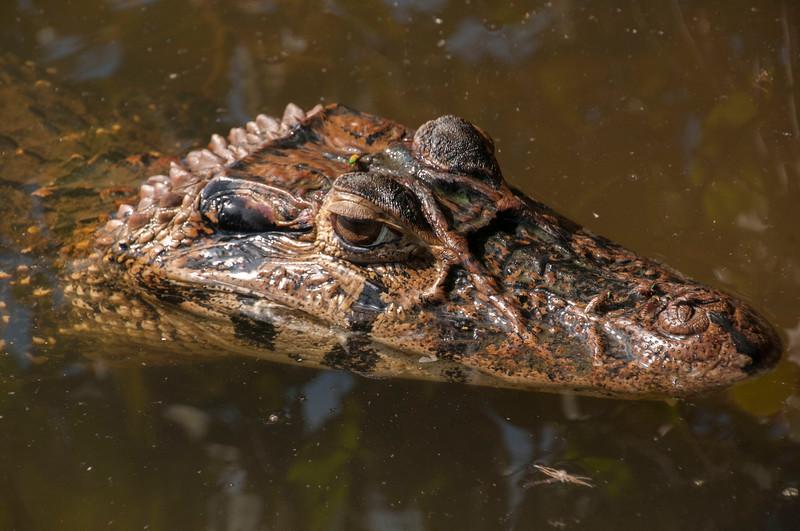 Alligator_Costa Rica