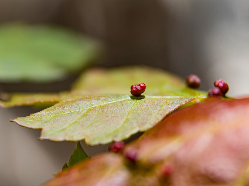 Insect-gall-red-maple-plant.jpg