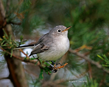 Blue-gray Gnatcatchers Fall 2015