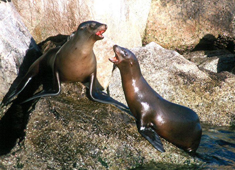 California Sea Lions - California