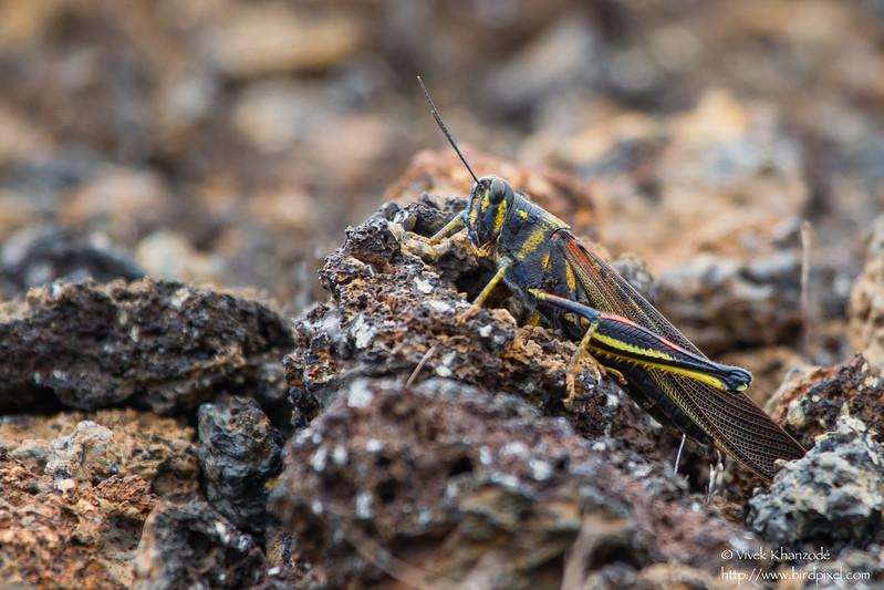 Large Painted Locust - Punta Albemarle, Isla Isabela, Galapagos, Ecuador