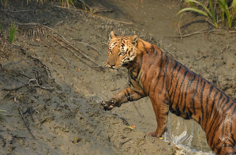 Tiger-Sundarbans-morning-light.jpg