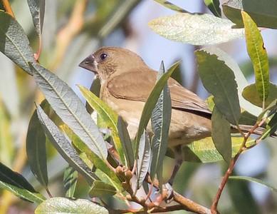 Scaly-breasted Munia (Nutmeg Mannikin)
