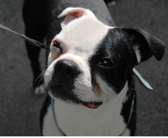 Boston Terrier Urban dog April 08