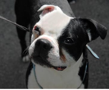 Boston Terrier Urban dog April 08