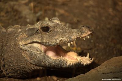 Crocodiles - Set 3