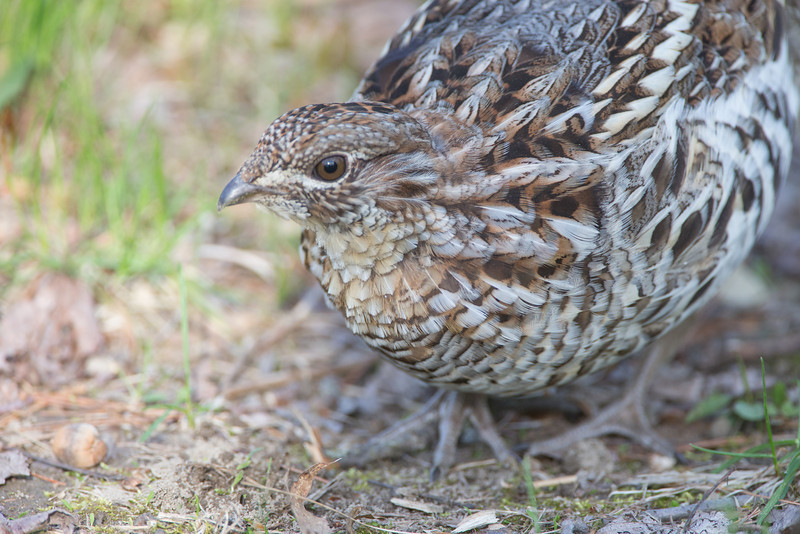 Ruffed Grouse, Amherst, May 12, 2014