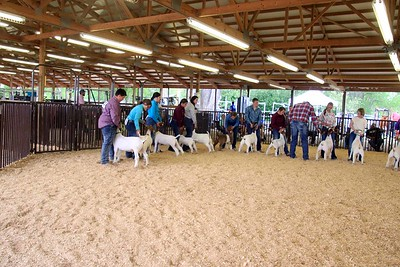 Goat Showmanship Sunday