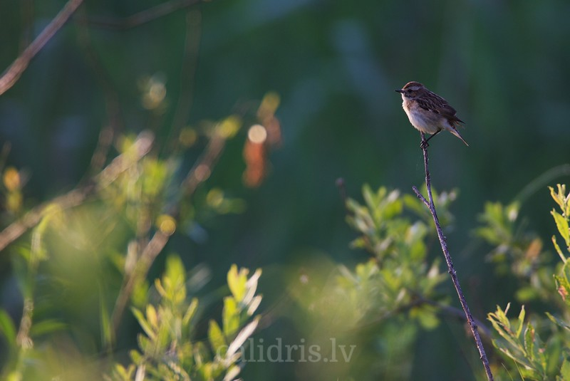 Whinchat perched on a branch