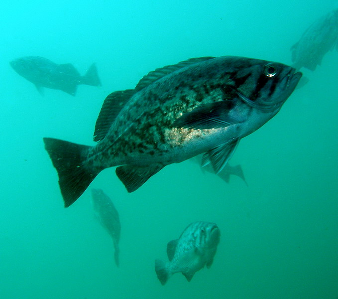 Blue Rockfish hanging at my safety stop off of Purissima point, CA
