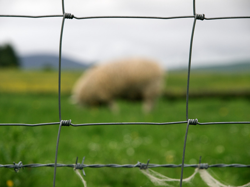 Sheep behind the netting