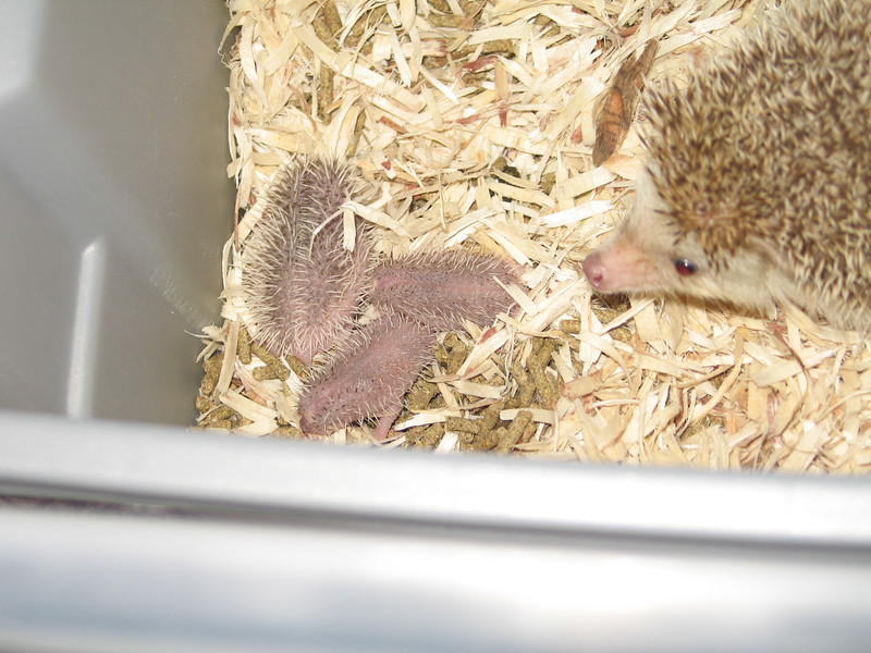 Hedgehog Gathering at PogStar Hedgehogs (06/2005)  Hedgehog Photos  Filename reference: 20050620-022309-HAH-PogStar_Gathering