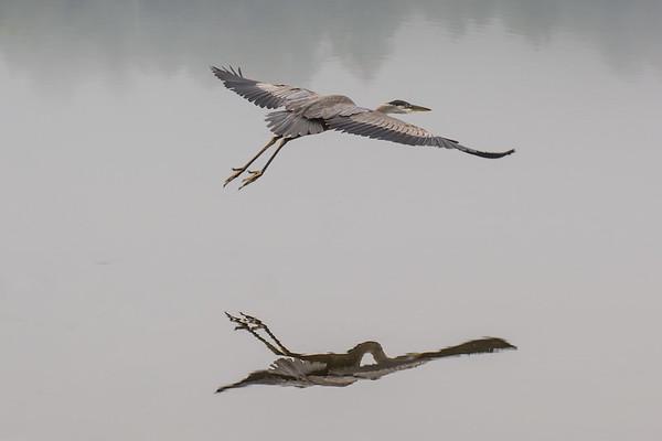 Blue Heron on Post Pond