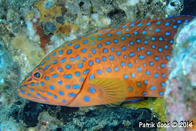 Common Coral Trout