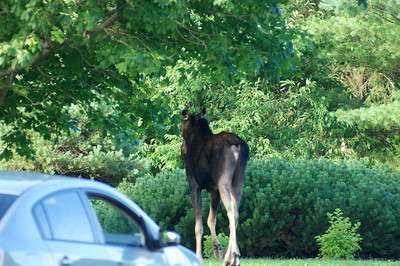 Bouctouche Moose at dad's place 2011