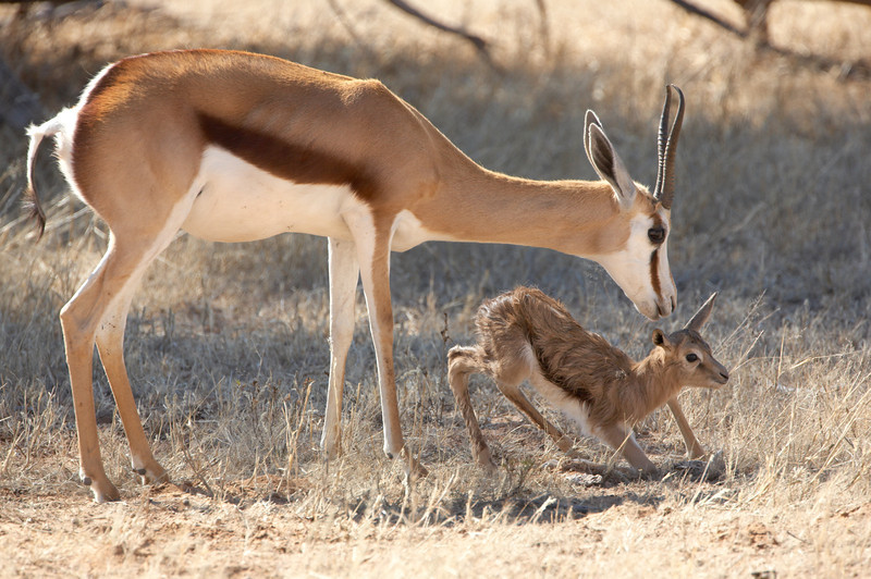 Springbok and Fawn - 5722.jpg