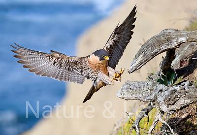 Falcons, Peregrine Falcons
