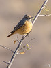 Short-Toed Rock Thrush