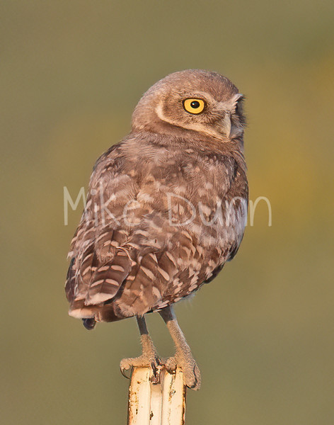 Burrowing Owl 21-62