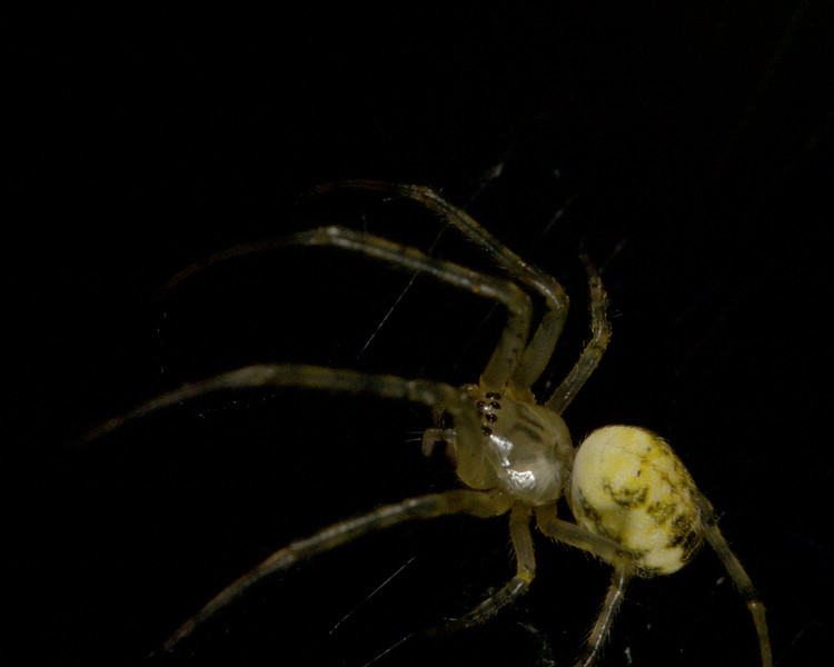 "2.8 and Nikon 6T.  This spider is a bout 1/4"" long including legs ."