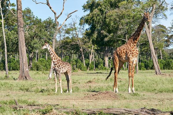 Giraffe Mara Kenya 2018