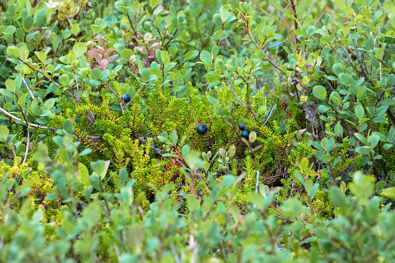 low bush blue berries