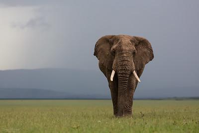 Land-living Mammals / Landlevande däggdjur