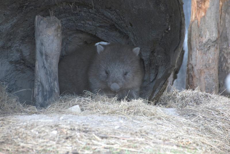 Wombat in Log - Tasmania, Australia