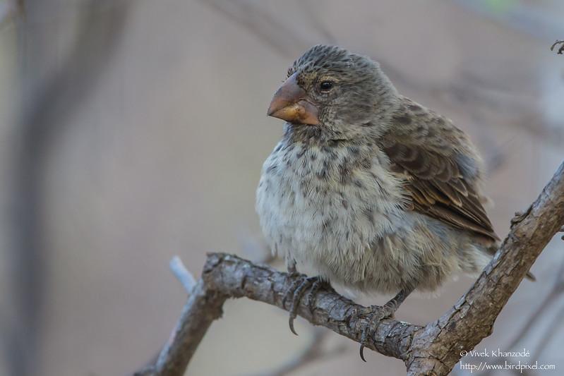 Medium Ground-Finch -Urvina Bay, Isla Isabela, Galapagos, Ecuador