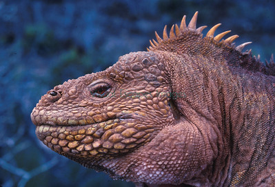 Historic Land Iguana Conservation