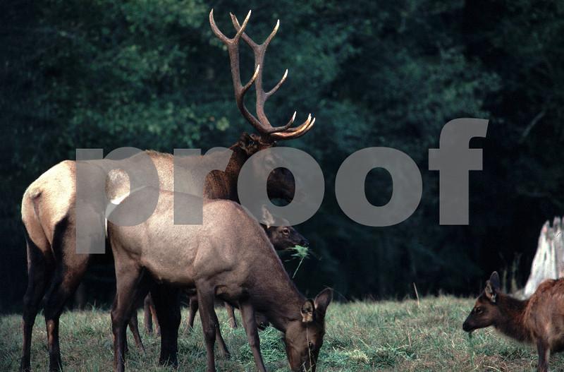 Elk bull cow calf.jpg