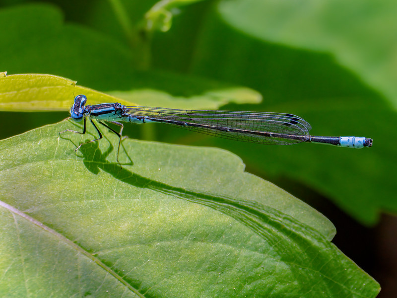 Turquoise Bluet (Enallagma divigans), Male