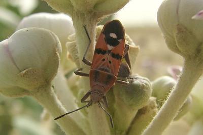 Spilostethus ssp