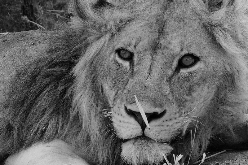 The-Lion-King-BW.jpg