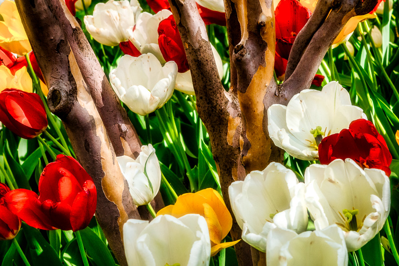 April 20 - Tulips and tree bark.jpg