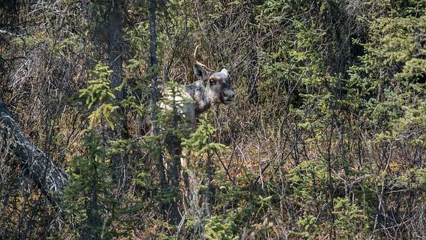 Boreal Woodland Caribou