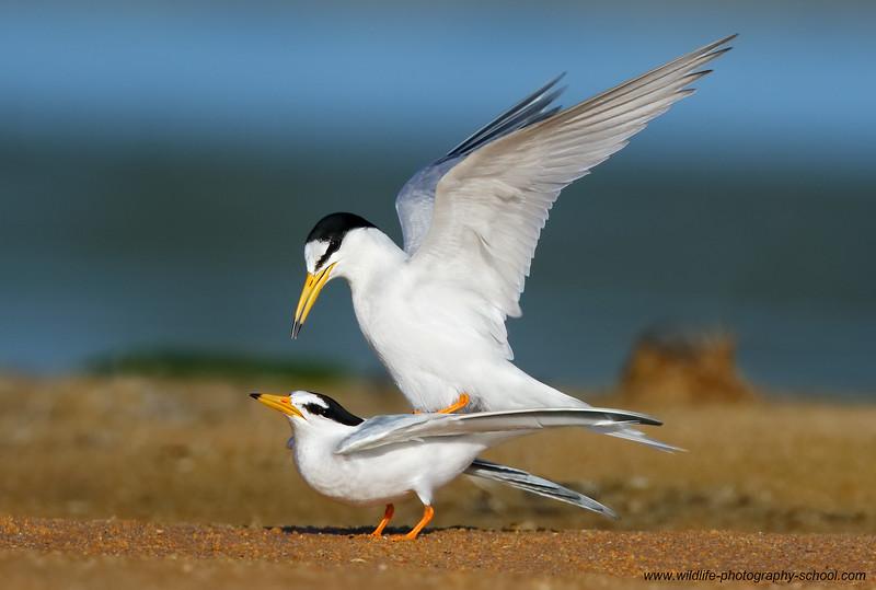 Little Tern mating 1 MASTER.jpg