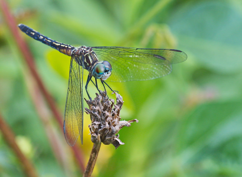 20190619_AnahuacNWR_Butterfly_Garden_Dragon_Fly_500_8185.jpg
