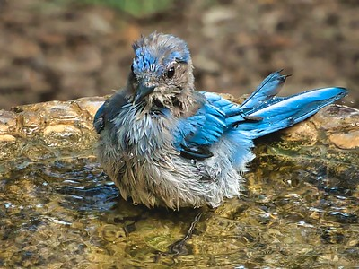 Blue Jay Bath