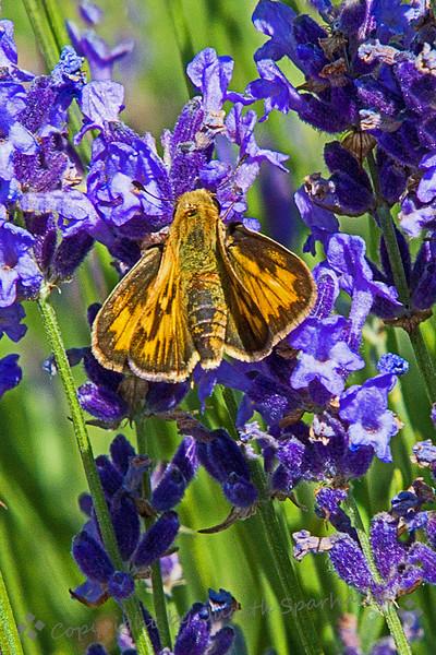 Skipper in the Lavender - Judith Sparhawk