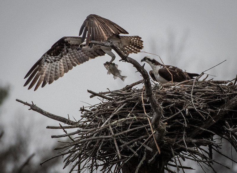 Osprey female taking fish