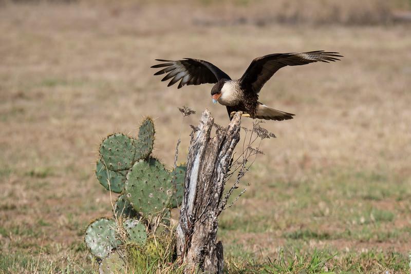 Crested Caracara - juvenile - Laguna Seca Ranch-Edinburg, TX