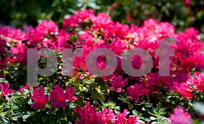 in-full-bloom