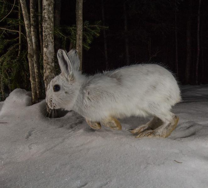 snowshoe hare-6461.jpg