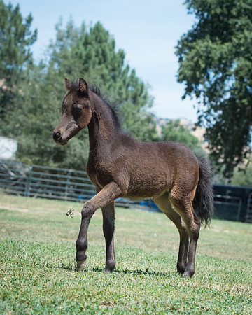 ---SOLD---Knight X Reign N Hail (Show Filly)